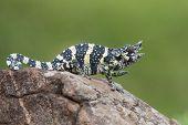 pic of chameleon  - Melleri - JPG
