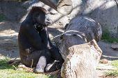 picture of gorilla  - Western Gorilla at a zoo sitting and relaxing - JPG
