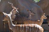 stock photo of antelope horn  - greater kudu  - JPG