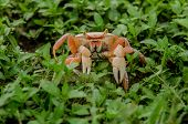 picture of florida-orange  - An orange crab scuttles through green weeds along the coast of the Florida Keys - JPG
