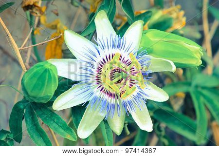 Exotic Passion Flower.