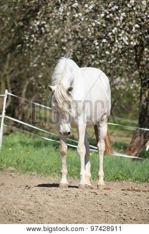 Amazing White Andalusian Mare
