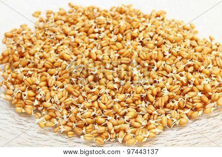 Germinated Wheat Grains.