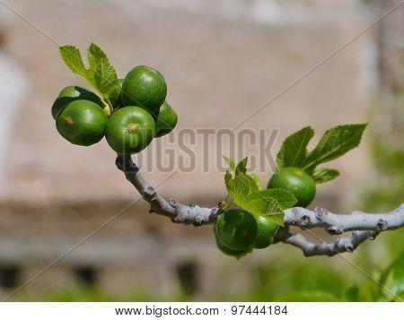 A fig tree during springtime