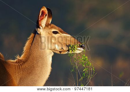 Kudu cow (Tragelaphus strepsiceros) portrait eating green leaves - Kruger National park (South Africa)