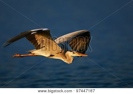Grey heron (Ardea cinerea) flying low over blue water - Kruger National Park (South Africa)