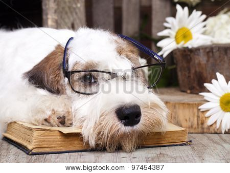 Sealyham Terrier and book
