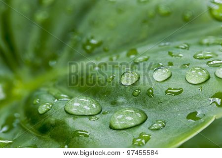 Water Drop On The Green Leaf