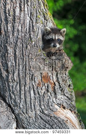 Young Raccoon (procyon Lotor) Peeks Out Of Tree