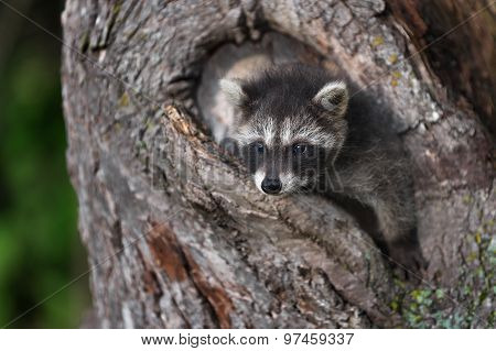 Young Raccoon (procyon Lotor) Hangs Out Of Tree