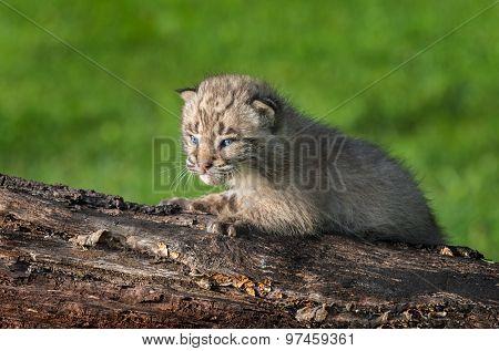 Baby Bobcat (lynx Rufus) On Log Facing Left