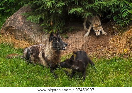 Black Phase Grey Wolf (canis Lupus) And Two Pups