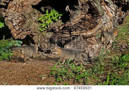 Three Grey Fox Kits (urocyon Cinereoargenteus) Play By Log