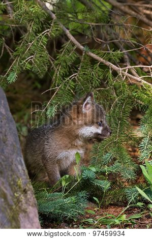 Grey Fox Kit (urocyon Cinereoargenteus) Sits In Pine