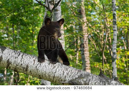 Young Black Bear Cub (ursus Americanus) Stands On Birch Branch