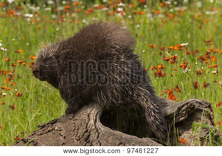 Sleepy Looking Porcupine (erethizon Dorsatum) On Log