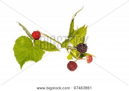 Black berry Sprig