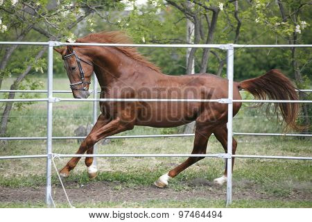 Young Thoroughbred  Chestnut Horse In Action Summertime Outdoor