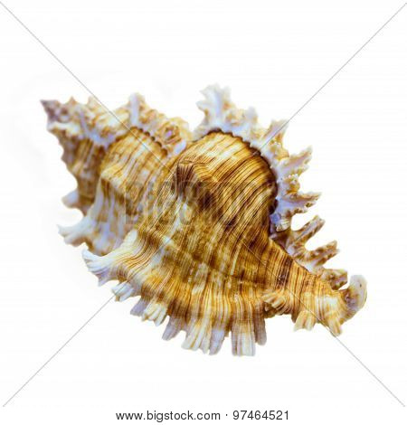 Shell Of Murex Saulii Or Chicoreus Saulii