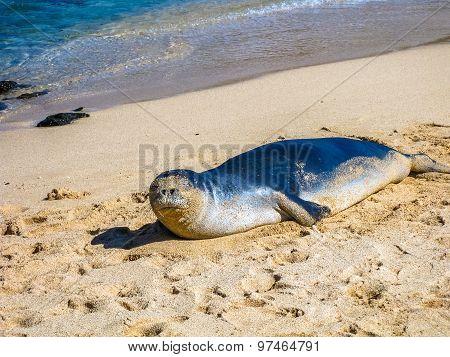 Monk Seal Hawaii