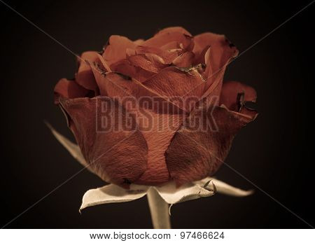 Old Rose. Dying And Death Symbol. Black Background.