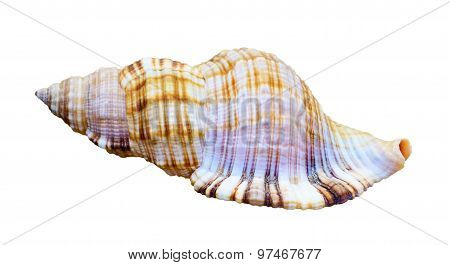 Shell Of Sea Snail