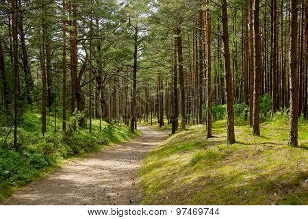 Pine forest landscape, Lithuania