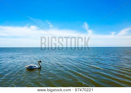 Alone swan in a sea