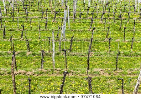 Vineyards In Early Spring In The Wachau Area