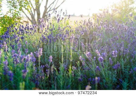 Beautiful Detail Of Scented Lavender Flowers Field