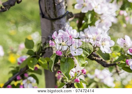 Apple Branches With White And Pink Flowers