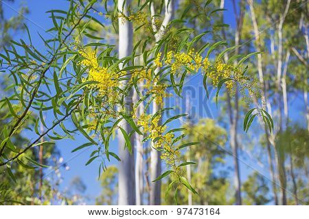 In Spring Australian Golden Wattle In A Splash Of Sunlight