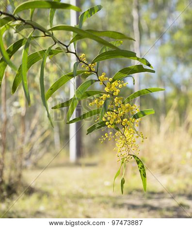 Sunlit Australian Zig-zag Wattle Flower Acacia Macradenia