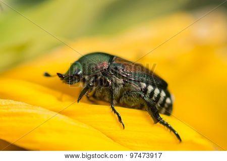 Japanese Beetle Macro