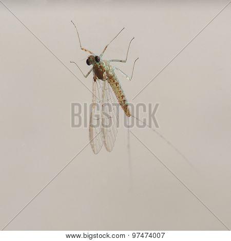 Centroptilum Luteolum Insect