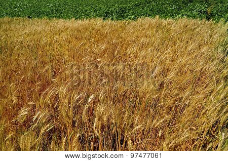 Field of wheat and beans