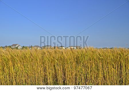Housing development next to wheat field