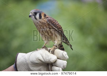 Kestrel on a Glove