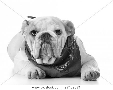 cute puppy - bulldog puppy wearing bandanna
