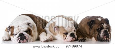 three generations of bulldogs - father, son and grandmother