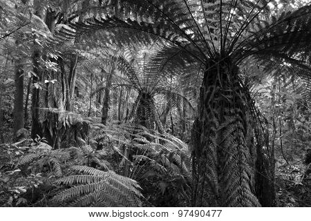 Tree ferns in tropical jungle