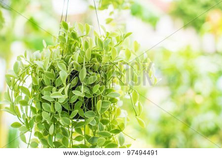 Hanging Decorate Green Ivy Plants In The Garden