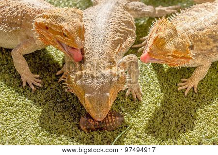 Pogona eating