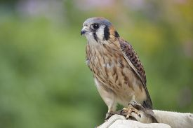 picture of falcons  - An American Kestrel (Falco sparverius) perching on a falconer