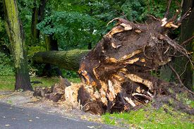 image of hurricane wind  - Uprooted tree after storm in park fallen tree damaged by wind - JPG