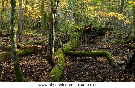 Stand Of Bialowieza Forest With Oak Tree Lying