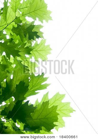 oak branch isolated on white