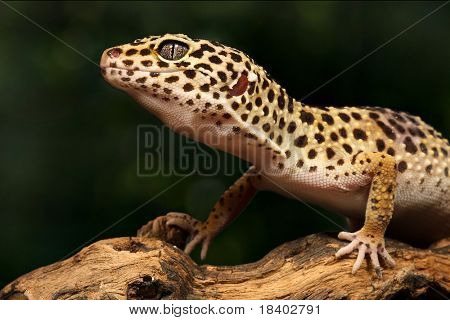beautiful gecko sitting on a brunch