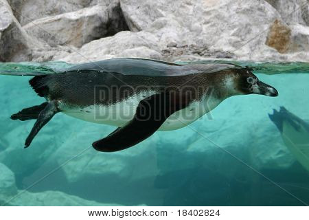 swimming penguin