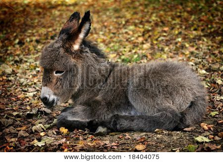 young sitting donkey